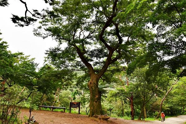350년 동안 삼랑성 동문을 지켜온 느티나무.