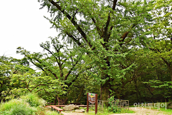 노승나무(왼쪽)와 동자승나무.